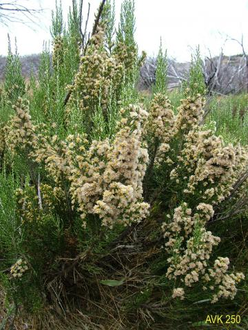 Photo of plant on Mt Buffalo, April 2006.