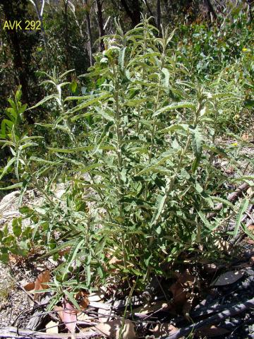 Photo of plant on Mt Buffalo, December 2006.