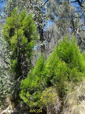 Photo of trees on Mt Buffalo, November 2006.