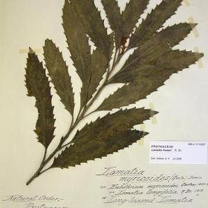 Tree Lomatia