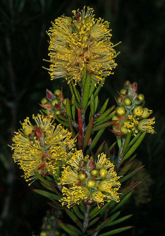 Alpine Bottlebrush