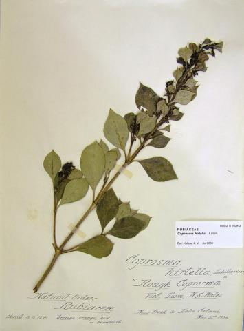 Rough Coprosma
