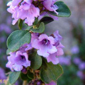 Round-leaf Mint-bush