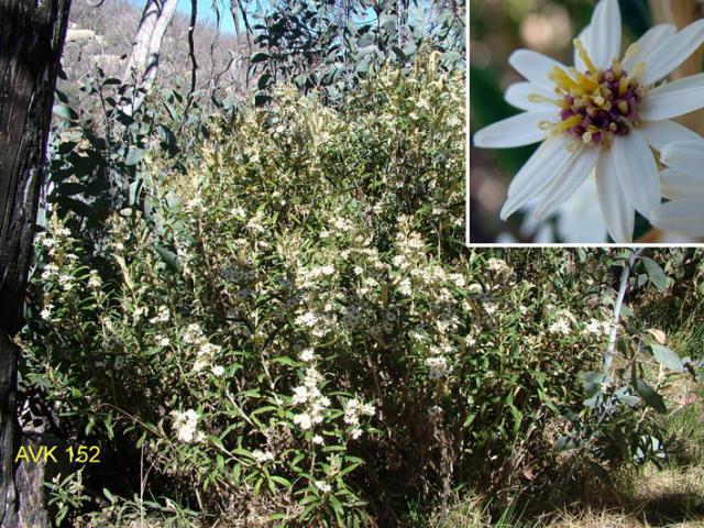 Dusty Daisy-bush