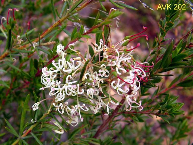 Small-flowered Grevillea