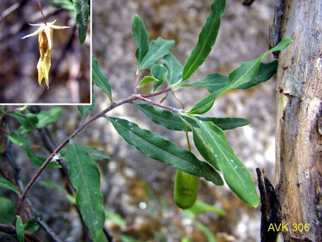 Photo of plant on Mt Buffalo, January 2007.
