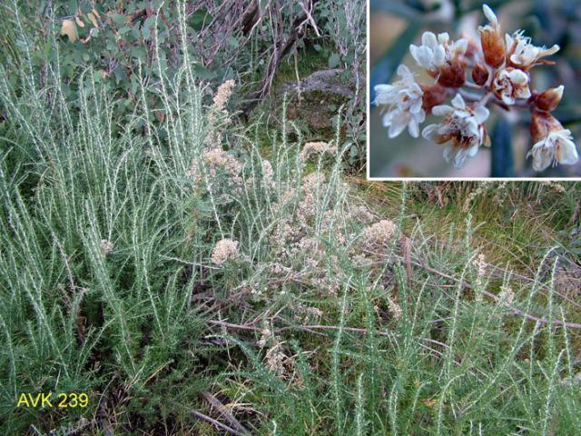 Photo of plant on Mt Buffalo, November 2006.