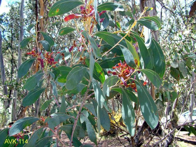 Acacia obliquinervia : School of BioSciences