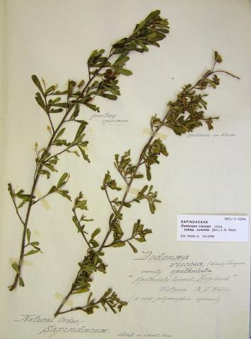 Sticky Hop-bush