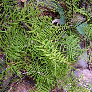 Pouched Coral-fern