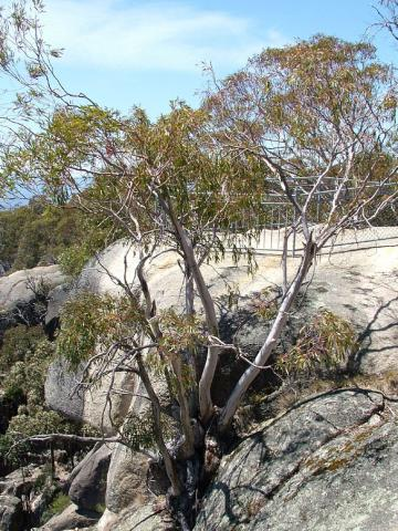 Photo of trees on Mt Buffalo, January 2007.