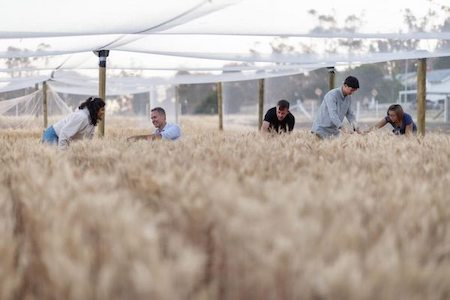 Professor Johnson and researchers in a field of biofortified wheat