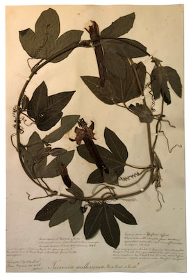A plant specimen from the collection of Prince Roland Bonaparte