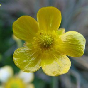 Ranunculus x ligulatus