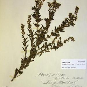 Hairy Mint-bush