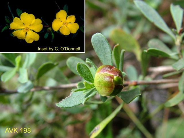 Showy Guinea-flower