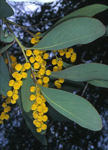 Photo of plant on Mt Buffalo; photographer Clyde O'Donnell.