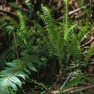 Fishbone Water-fern