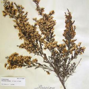 Leafy Bossiaea