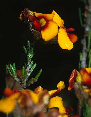 Photo of plant on Mt Buffalo. Photographer Roger Briggs.