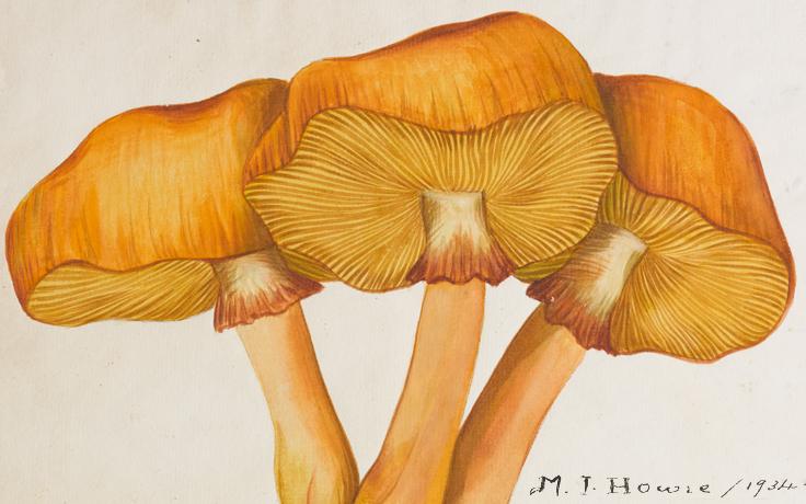 Philiota spectabilis