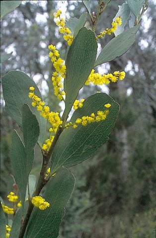 Acacia phlebophylla : School of BioSciences