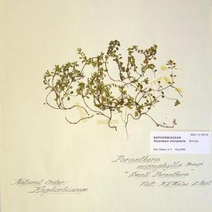 Small Poranthera