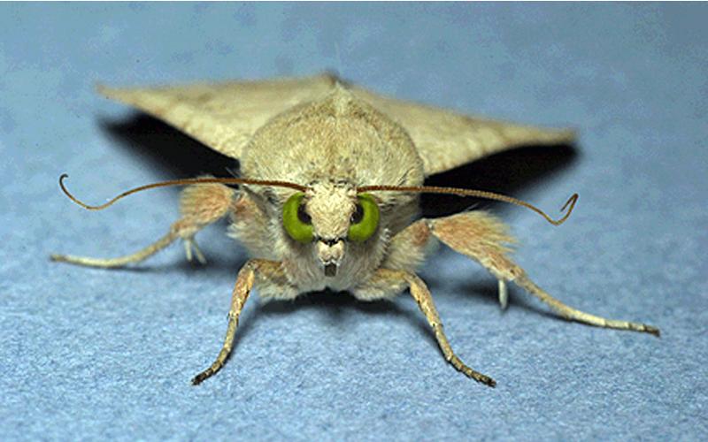 A close-up look at a moth staring straight at the camera