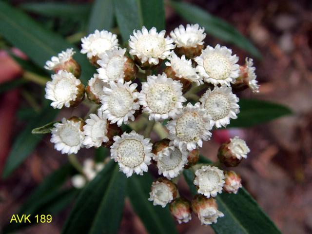 Photo of plant on Mt Buffalo, November 2006.
